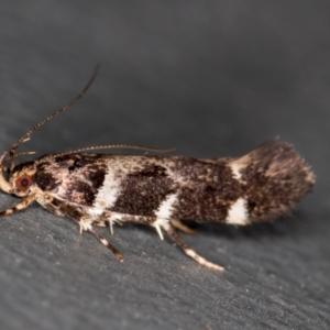 Macrobathra (genus) at Melba, ACT - 23 Jan 2021