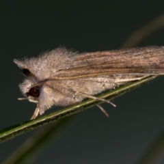 Pantydia sparsa ( A noctuid moth) at Melba, ACT - 23 Jan 2021 by Bron
