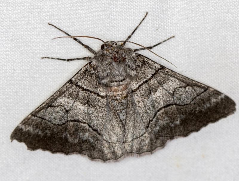 Hypobapta (genus) at Melba, ACT - 23 Jan 2021