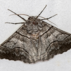 Hypobapta (genus) (A Geometer moth) at Melba, ACT - 23 Jan 2021 by Bron