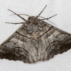 Hypobapta (genus) (A Geometer moth) at Melba, ACT - 23 Jan 2021 by Bron
