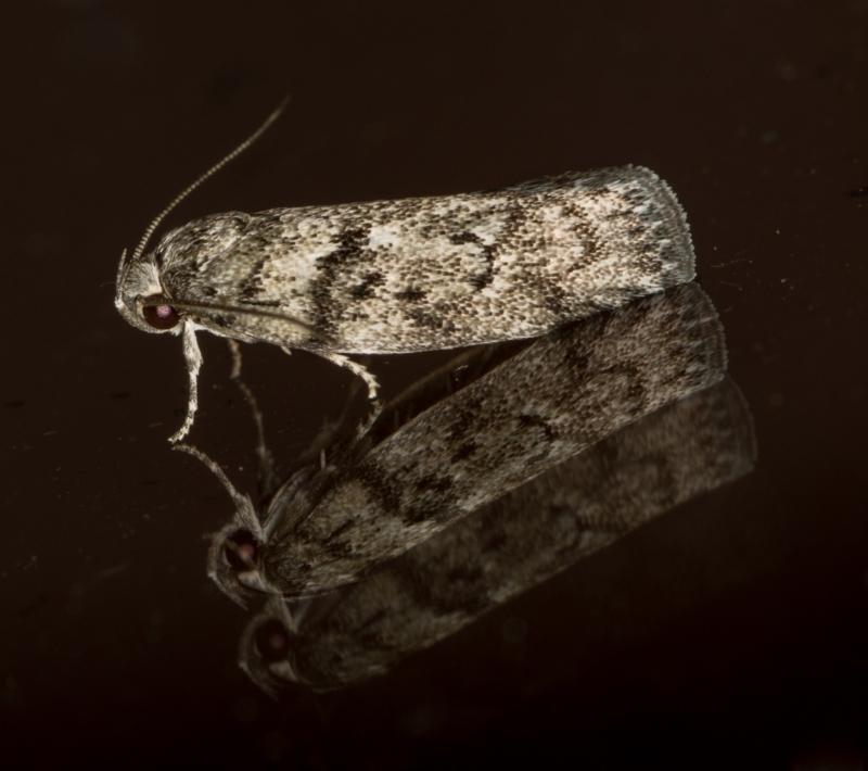 Philobota philostaura at Melba, ACT - 23 Jan 2021