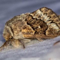 Pernattia pusilla (She-oak Moth) at Melba, ACT - 21 Jan 2021 by Bron