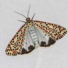Utetheisa pulchelloides (Heliotrope Moth) at Melba, ACT - 21 Jan 2021 by Bron