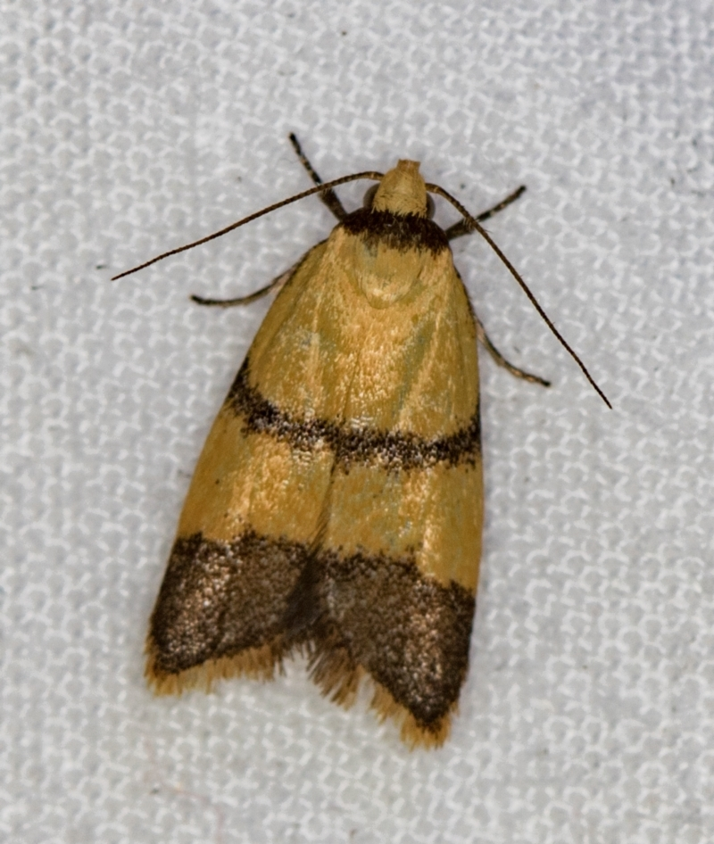 Heteroteucha translatella at Melba, ACT - 22 Jan 2021
