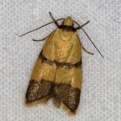 Heteroteucha translatella (A concealer moth) at Melba, ACT - 22 Jan 2021 by Bron