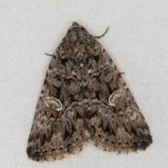 Condica aroana (A Noctuoid moth) at Melba, ACT - 22 Jan 2021 by Bron