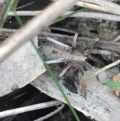 Argoctenus sp. (genus) (Wandering ghost spider) at Mount Ainslie - 7 Apr 2021 by Tapirlord