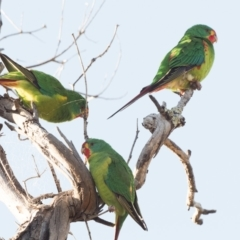 Lathamus discolor (Swift Parrot) at Callum Brae - 20 Apr 2021 by patrickcox