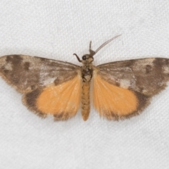 Anestia (genus) (A tiger moth) at Melba, ACT - 22 Jan 2021 by Bron