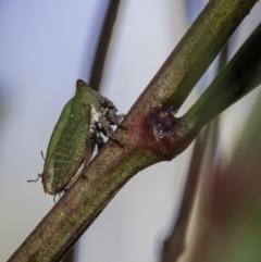 Sextius virescens (Acacia Tree Hopper, Acacia Horned Treehopper) at Namadgi National Park - 27 Mar 2021 by BIrdsinCanberra