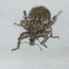 Listroderes difficilis (Vegetable weevil) at Googong, NSW - 21 Apr 2021 by WHall