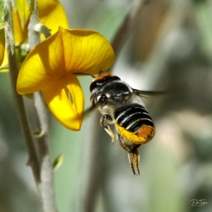 Megachile (Eutricharaea) maculariformis at ANBG - 21 Apr 2021