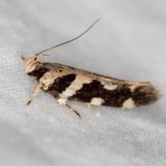 Macrobathra baliomitra (A Gelechioid moth) at Melba, ACT - 20 Jan 2021 by Bron
