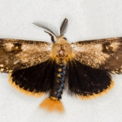 Epicoma contristis (Yellow-spotted Epicoma Moth) at Melba, ACT - 20 Jan 2021 by Bron