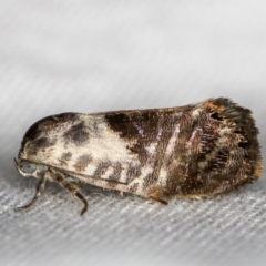 Eupselia carpocapsella (A Twig moth) at Melba, ACT - 21 Jan 2021 by Bron