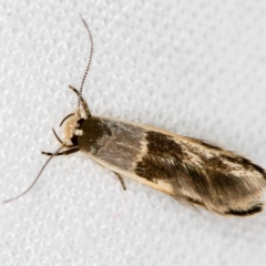 Stathmopoda megathyma (A concealer moth) at Melba, ACT - 21 Jan 2021 by Bron