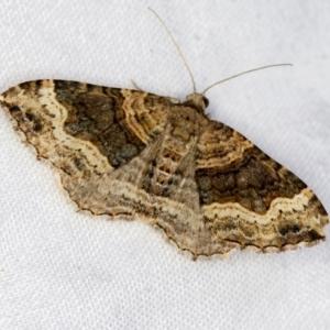 Epyaxa sodaliata at Melba, ACT - 21 Jan 2021