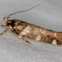 Macrobathra leucopeda (A Gelechioid moth) at Melba, ACT - 21 Jan 2021 by Bron