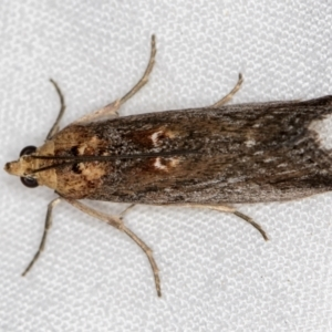 Morosaphycita oculiferella at Melba, ACT - 21 Jan 2021