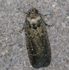 Athetis tenuis (A Noctuid moth) at Melba, ACT - 21 Jan 2021 by Bron