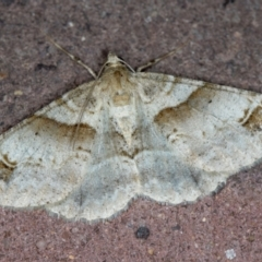 Syneora hemeropa (Ring-tipped Bark Moth) at Melba, ACT - 21 Jan 2021 by Bron