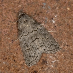 Calathusa sp nr dispila at Melba, ACT - 19 Jan 2021 by Bron