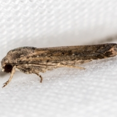 Athetis tenuis (A Noctuid moth) at Melba, ACT - 19 Jan 2021 by Bron