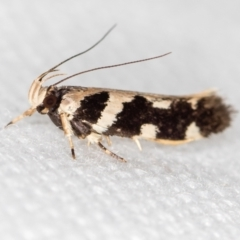 Macrobathra baliomitra (A Gelechioid moth) at Melba, ACT - 19 Jan 2021 by Bron