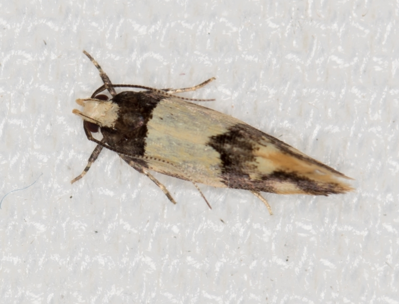 Macrobathra hamaxitodes at Melba, ACT - 20 Jan 2021