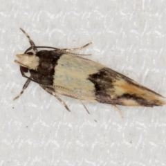 Macrobathra hamaxitodes (A Gelechioid moth) at Melba, ACT - 19 Jan 2021 by Bron