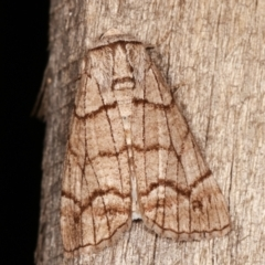 Stibaroma undescribed species (A Line-moth) at Melba, ACT - 17 Apr 2021 by kasiaaus