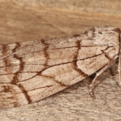 Stibaroma undescribed species at Melba, ACT - 17 Apr 2021