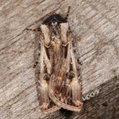 Agrotis munda (Brown Cutworm) at Melba, ACT - 17 Apr 2021 by kasiaaus