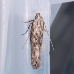 Ardozyga (genus) (Twirler moth, gelechiid moth) at Melba, ACT - 17 Apr 2021 by kasiaaus