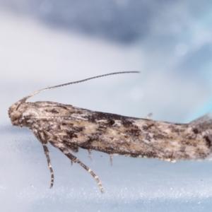 Ardozyga (genus) at Melba, ACT - 17 Apr 2021
