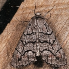 Stibaroma undescribed species (A Line-moth) at Melba, ACT - 18 Apr 2021 by kasiaaus