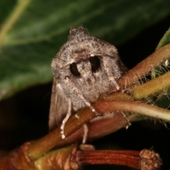 Dasygaster padockina (Tasmanian cutworm) at Melba, ACT - 18 Apr 2021 by kasiaaus