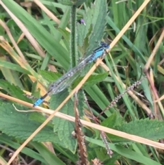 Ischnura heterosticta (Common Bluetail) at Ginninderry Conservation Corridor - 22 Apr 2021 by Ned_Johnston