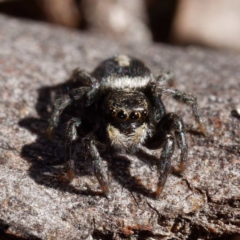 Salpesia sp. (genus) (Salpesia Jumping Spider) at Forde, ACT - 21 Apr 2021 by DPRees125