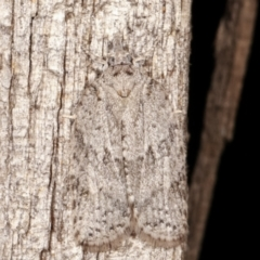 Isotenes miserana (Isotenes miserana) at Melba, ACT - 19 Apr 2021 by kasiaaus