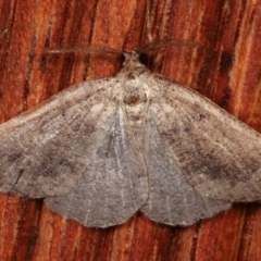 Mnesampela lenaea (Rippled Gum Moth) at Melba, ACT - 19 Apr 2021 by kasiaaus