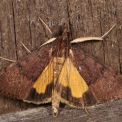 Uresiphita ornithopteralis (Tree Lucerne Moth) at Melba, ACT - 19 Apr 2021 by kasiaaus