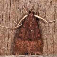 Uresiphita ornithopteralis at Melba, ACT - 19 Apr 2021