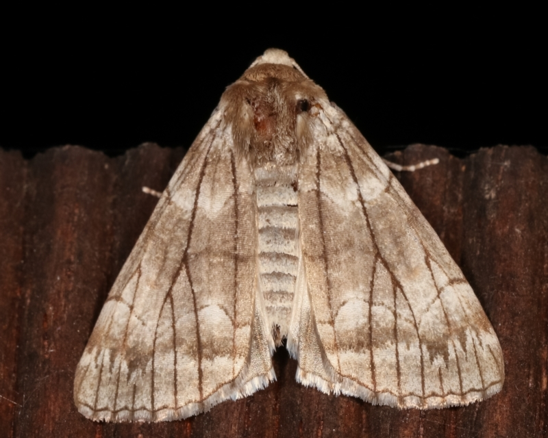 Stibaroma undescribed species at Melba, ACT - 19 Apr 2021