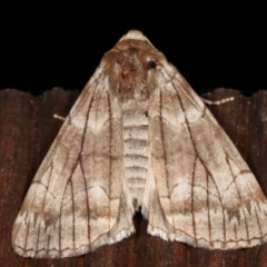 Stibaroma undescribed species (A Line-moth) at Melba, ACT - 19 Apr 2021 by kasiaaus