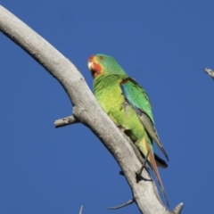 Lathamus discolor (Swift Parrot) at Callum Brae - 22 Apr 2021 by WarrenRowland