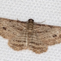 Ectropis excursaria (Common Bark Moth) at Melba, ACT - 16 Jan 2021 by Bron