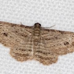 Ectropis excursaria (Common Bark Moth) at Melba, ACT - 16 Jan 2021 by Bron
