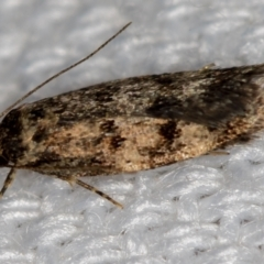 Barea (genus) (A concealer moth) at Melba, ACT - 16 Jan 2021 by Bron